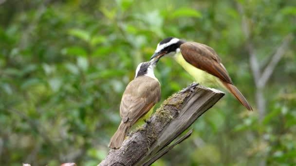 Pitango solforato uccello nel suo habitat naturale nei boschi. Il Pitango solforato è un uccello passeriforme della famiglia dei pigliamosche tiranno compilò. Nidifica nelle aree boschive aperte con alcuni alberi ad alto fusto, specie animale tropicale esuberante. Awesome colorati uni
