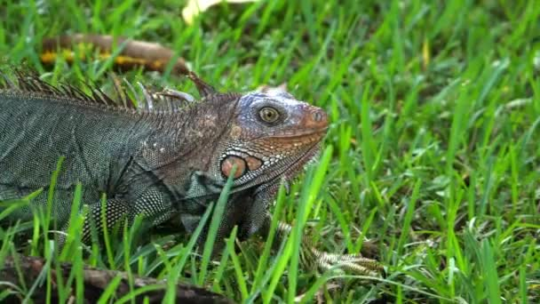 American green iguana running in super slow motion in the rainforest. The green iguana, also known as the American iguana, is a large, arboreal, mostly herbivorous species of lizard of the genus Iguana. Exuberant tropical animal species. Awesome col