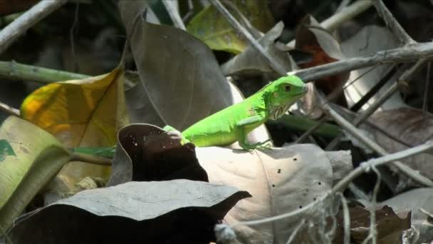 American iguana baby posing among the dry leaves in the rain forest. The green iguana, also known as the American iguana, is a large, arboreal, mostly herbivorous species of lizard of the genus Iguana. Exuberant tropical animal species. Awesome colo