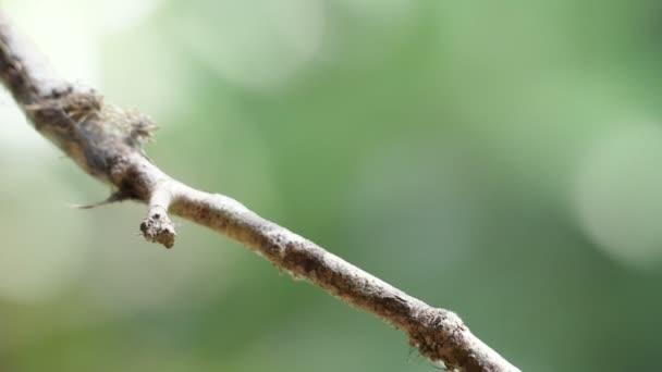 Bělokrký Jakobín pták prohlížení na větev zpomaleně. Známý jako velký Jakobín nebo s límečkem kolibřík, je velký kolibřík od Karibského moře. Bujné tropické druhy zvířat. Úžasné barevné jedinečných ptáků z celého světa