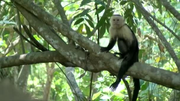 Capuchin tropical monkey on a branch in the Caribbean. The white-headed capuchin, also known as the white-faced capuchin, is a medium-sized New World monkey of the family Cebidae. Exuberant tropical animal species. Awesome colourful unique animals f