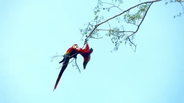 Macaw parrots couple kissing on a branch. The red-and-green macaw (Ara chloropterus), is is the largest of the genus Ara, widespread in the forests and woodlands of northern and central South America.