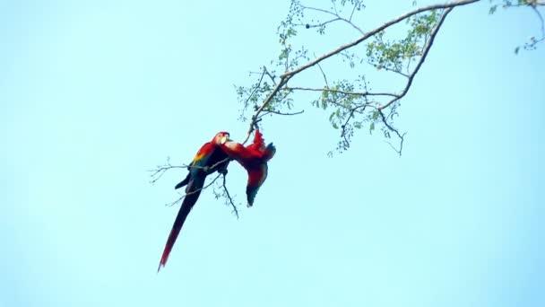 Papoušek papoušci, pár líbání na větvi. Je červená a zelená ARA (Ara chloropterus), je největší z rodu Ara, rozsáhlé lesy a lesy Jižní Amerika Severní a centrální