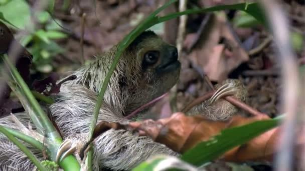 Tři - poslouchal lenost lezení do větví stromu. Lenochodi jsou stromoví savci známý pomalost pohybů a tráví většinu svého života visí vzhůru nohama v stromů tropických deštných pralesů Jižní a střední Ameriky.