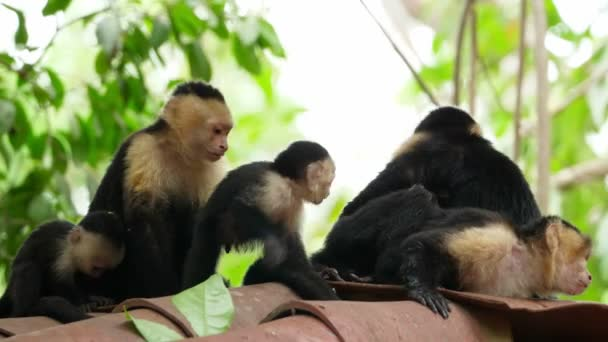 Capuchin tropical family monkeys in the tropics. The white-headed capuchin, also known as the white-faced capuchin, is a medium-sized New World monkey of the family Cebidae. Exuberant tropical animal species. Awesome colourful unique animals.