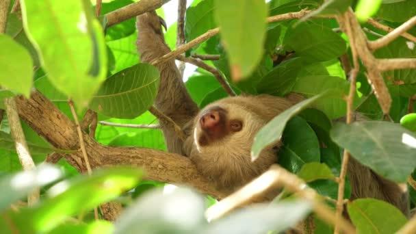 Třírohovaný lenochoda spí na větvi v deštných lesích. Sloty jsou arboreální savci, poznamenali pomalost pohybu a utrácejí většinu svého života visícími vzhůru nohama ve stromech tropických deštných pralesů Jižní Ameriky a střední Ameriky