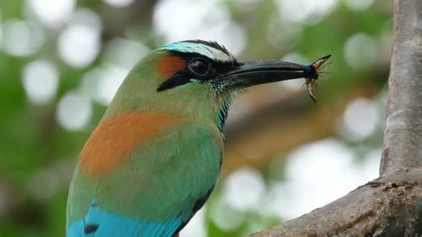 Színes motmot madár egy pillangó a csőrében az erdőben erdők. A motmotok vagy a motmotfélék a madarak családjának verébalakúak (Passeriformes) rendjébe és a kárókafélék (Coraciiformes) családjába tartozó család. Dús trópusi állatfajok. Sokszínű, egyedi madarak a világ minden tájáról.