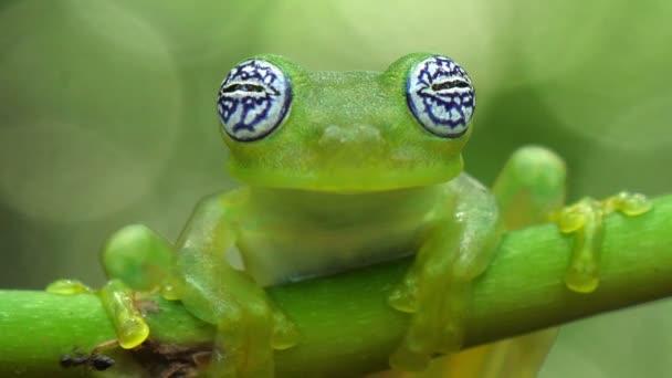 Skleněná žába v přírodním prostředí Karibského lesa. Ohrožené druhy. Super barevná sbírka žabek. Skleněné žáby jsou žáby z čeledi obojživelně Centrolenidae. Břišní kůže některých členů této rodiny je průhledná.