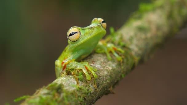 Žába v oblasti průplavu ve svém přírodním prostředí v nížinách Karibiku. Ohrožené druhy. Super barevná sbírka žabek. Žába v zóně průplavu je druh žáby v čeledi Hylidae nalezeném v karibských nížinách.