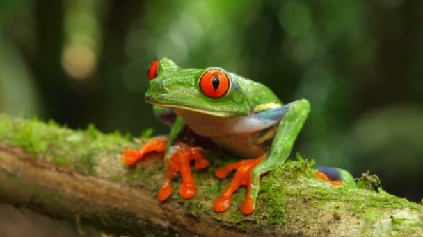 Zrzavá žába v přirozeném prostředí v Karibském deštném lese. Ohrožené druhy. Super barevná sbírka žabek. Agalychnis kaligdryas, známá jako zrzavá Žabka, je arboreální hyvíza v neotropických deštných pralesích.