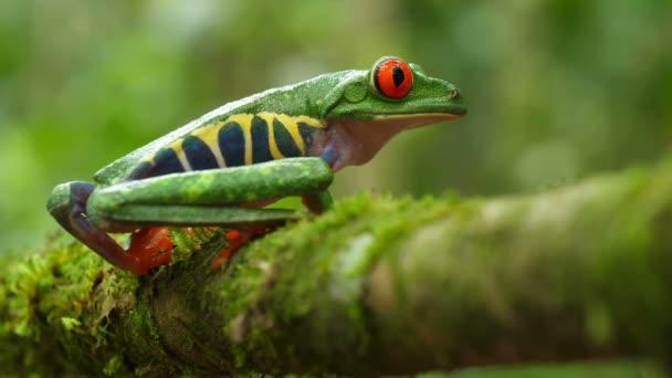 Rotäugiger Baumfrosch in seinem natürlichen Lebensraum im karibischen Regenwald. Wildtiere gefährdetarten Arten. Ehrfürchtig bunte Frösche Sammlung. Agalychnis callidryas, bekannt als Rotaugen-Baumfrosch, ist ein arborealer Hylid, der in neotropischen Regenwäldern beheimatet ist..