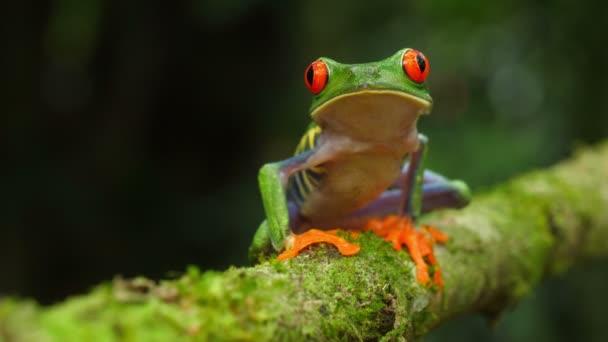 Vörös szemű levelibéka a természetes élőhelye a Karib-tenger esőerdők. Wildlife veszélyeztetett fajok. Félelmetes színes békák gyűjtemény. Agalychnis callidryas, ismert, mint a vörös szemű treefrog, egy Arboreal hylid őshonos Neotrop esőerdők.