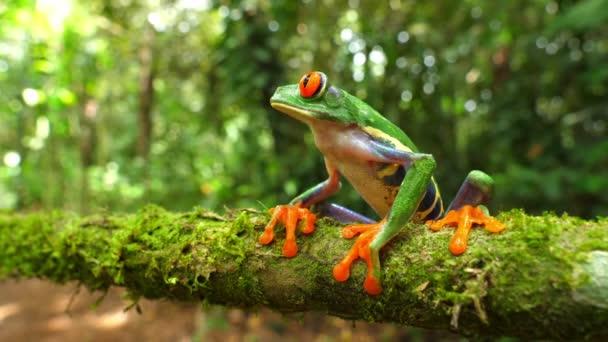 Rotäugiger Laubfrosch in seinem natürlichen Lebensraum im karibischen Regenwald. Wildtiere gefährdeten Arten. genial bunte Frösche Kollektion. agalychnis callidryas, bekannt als der rotäugige Baumstamm, ist ein Baumhylid, der in neotropen Regenwäldern beheimatet ist.
