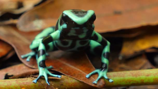 Green and black poison dart frog in its natural habitat in the Caribbean. Known as the Green and Black Poison Arrow Frog, is a brightly endangered colored member of the order Anura native to Central America and northwestern parts of South America.