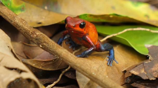 Blue Jeans-Pfeilgiftfrosch in seinem natürlichen Lebensraum in der Karibik. Giftiger Pfeilgiftfrosch im karibischen Wald. Diese Amphibien sind als Pfeilfrösche bekannt, weil die Ureinwohner das Frosch-Gift für Pfeile und Pfeile verwenden.