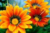 three orange large flowers in summer on a green background