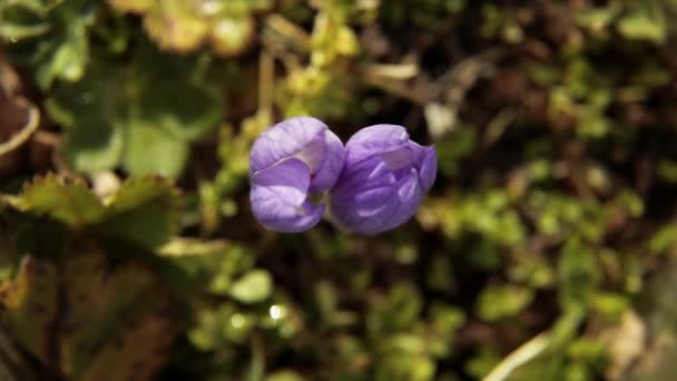 Fialový Krokus. Vysočině květiny. Zoom in Flora Alpica v jarní sezóně