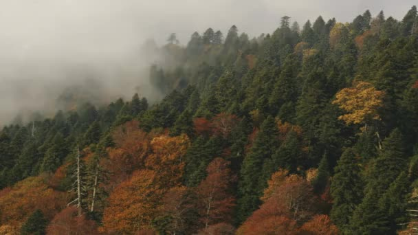 Fog In Autumn Forest. Pine Colorful Relict Forest. Autumn Colors Conifer