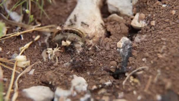 Housenka útoku černých mravenců