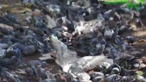 A large flock of pigeons