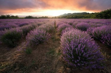 Lavender field with blooming purple bushes grown for cosmetic purposes. Sunset time with sky filled with cumulus clouds and rays sunlight.  near Burgas, Bulgaria. stock vector