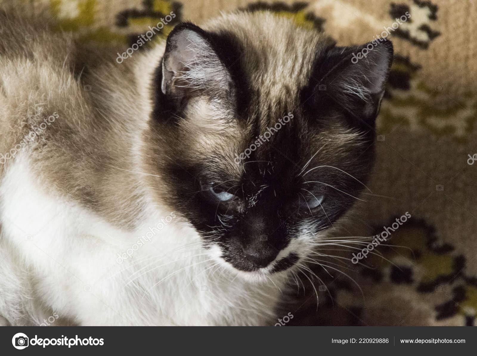 Siamese Cat Purebred Home — Stock Photo © galerylogin #220929886