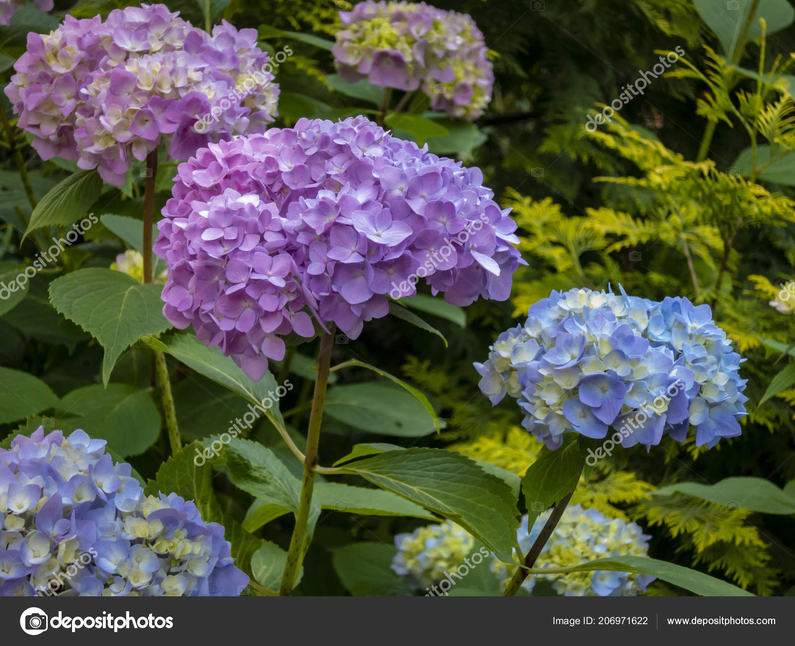 Macro multicolored pink blue flowers hydrangea macrophylla macro multicolored pink blue flowers hydrangea macrophylla background flowering bush stock photo izmirmasajfo