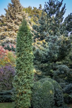 Original green background of a natural mixed texture of evergreens: Buxus sempervirens, Thuja occidentalis Columna, Pinus parviflora Glauca. Nature concept for design