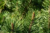 Pinus mugo Pumilio s krásnými mladými výhonky. Zblízka kultivar trpasličí borovice zelená za slunečného dne. Místo pro textovku. Malý a načechraný. Přírodní koncept pro návrh jara