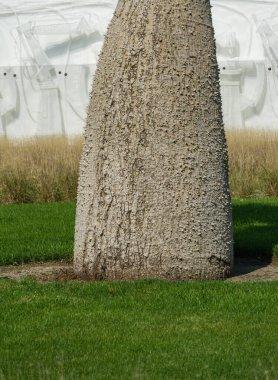 Original texture of thick trunk with spikes of Silk Floss Tree (Chorisia speciosa or Ceiba speciosa) in city park Krasnodar. Public landscape 'Galitsky park' for relaxation in sunny September 2020.
