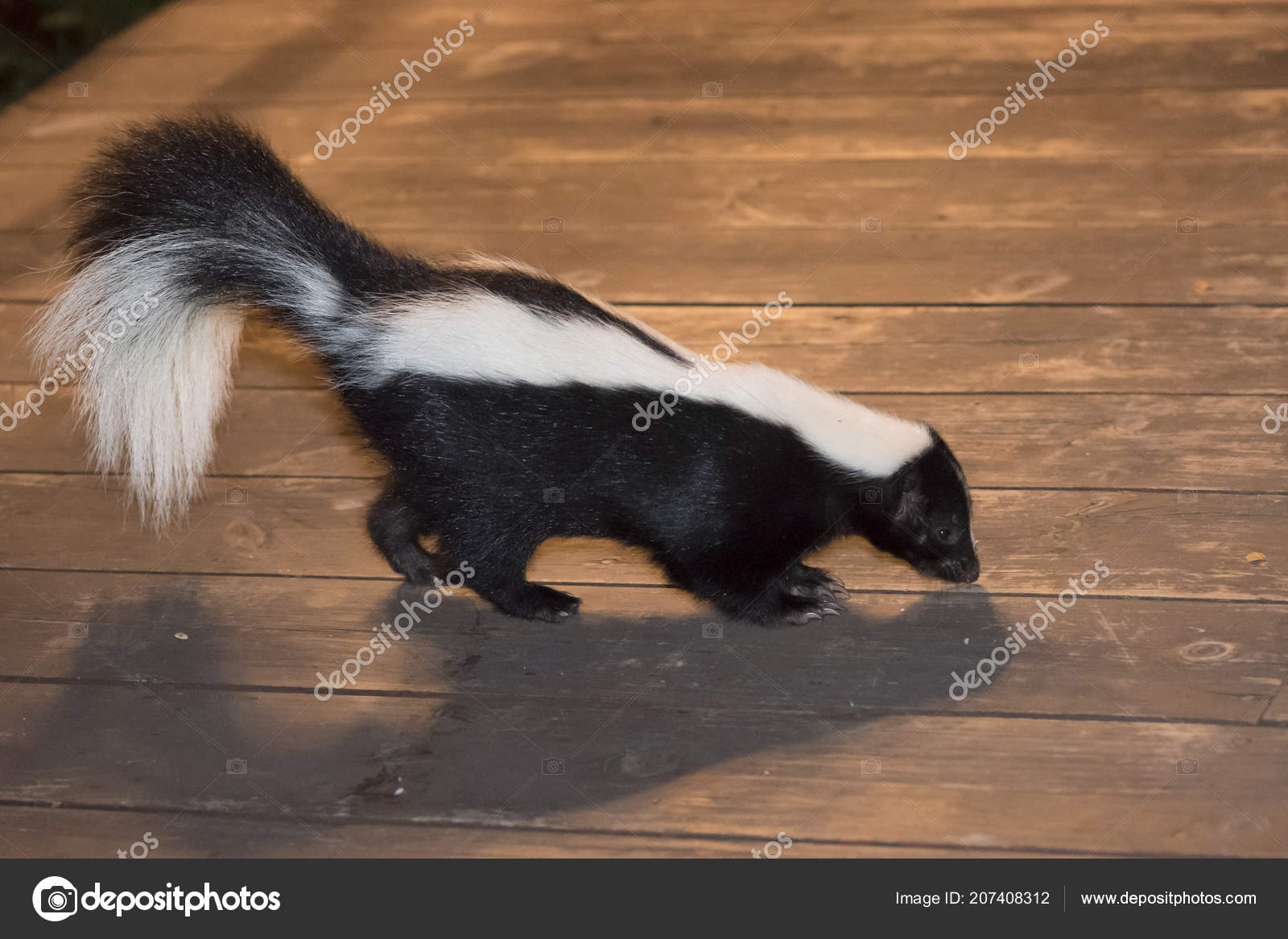 Skunk In Backyard skunk backyard patio — stock photo © adwo@hotmail #207408312