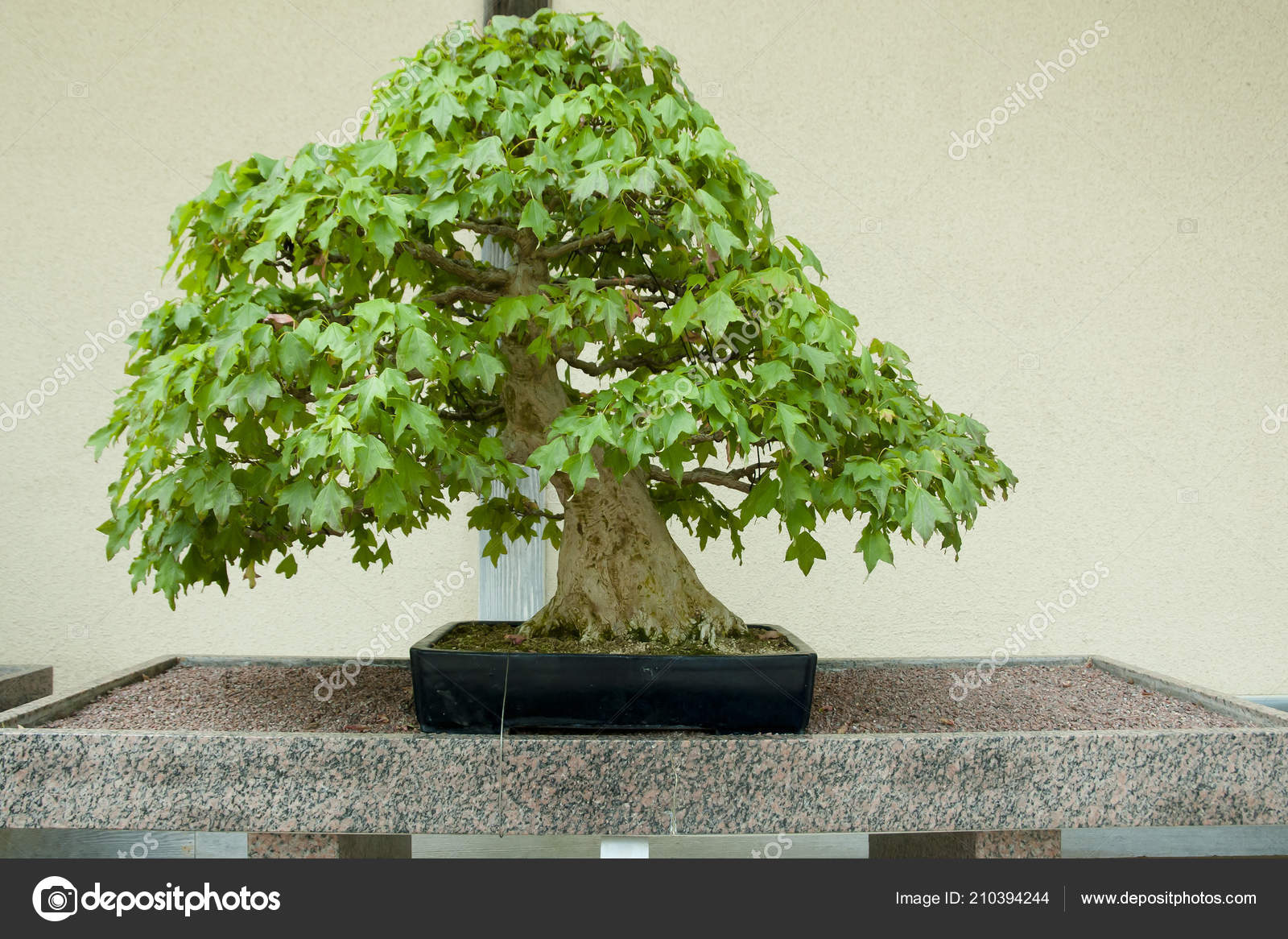 Trident Maple Bonsai Tree 100 Years Old Stock Photo C Adwo Hotmail Com 210394244