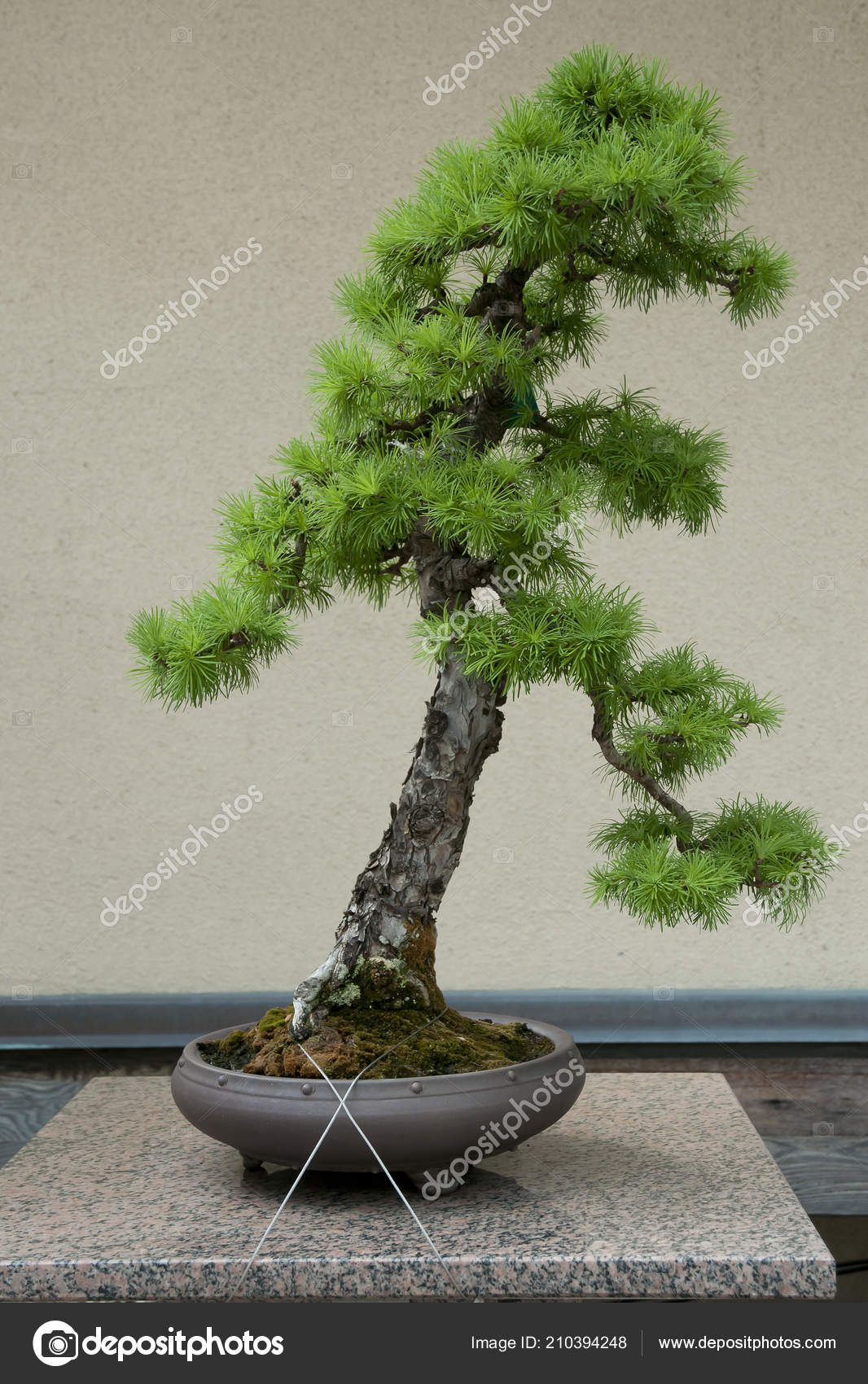 Japanese Larch Bonsai Tree Years Old Stock Photo C Adwo Hotmail Com 210394248
