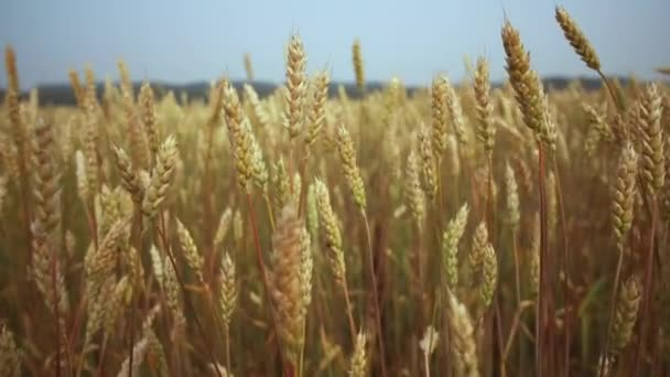 Growing wheat crop, close up. Agricultural business concept. Wheat Field. Grain harvest ripens in summer. Natural farming, harvesting.