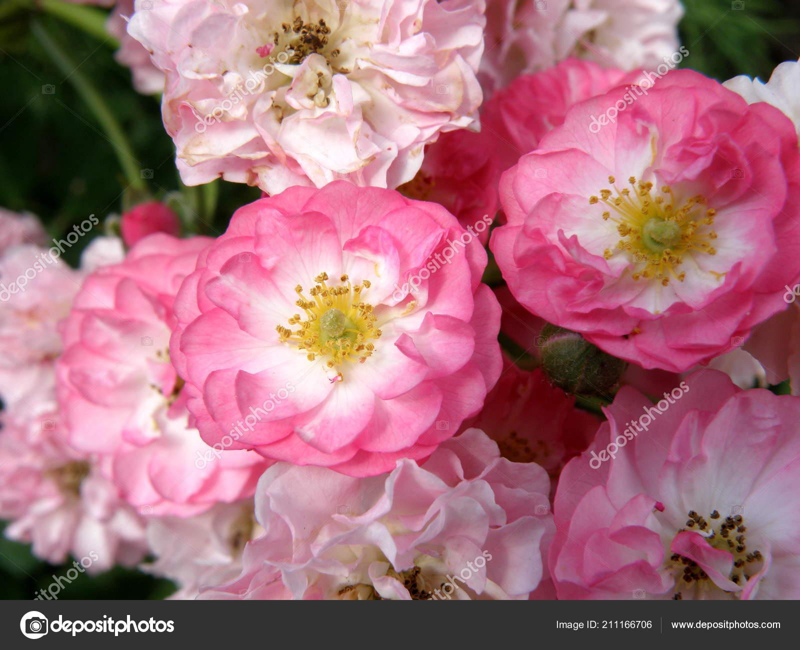 Beautiful Pink Roses Nice Flowers Stock Photo Cinigela87