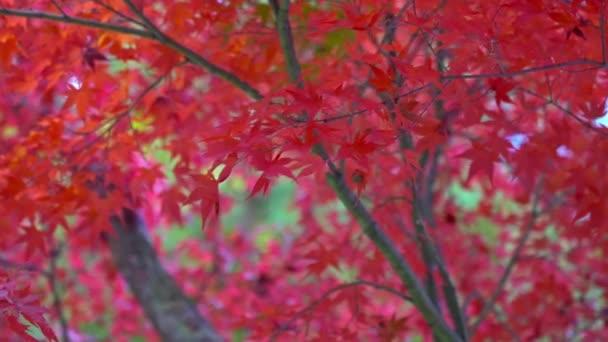 Vyhlídkové záběry javorového listí v podzimní sezóně v Japonsku