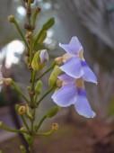 Fényképek Közelről Thunbergia grandiflora virágok a parkban, kék virág