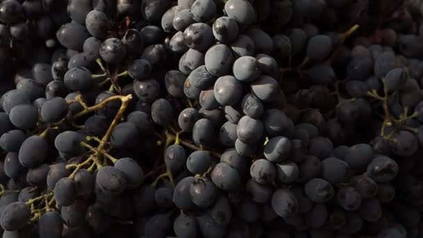 The man takes away a bunch of grapes. Big harvest of dark blue grapes. Brushes of berries lie in big capacities on the street in the afternoon.