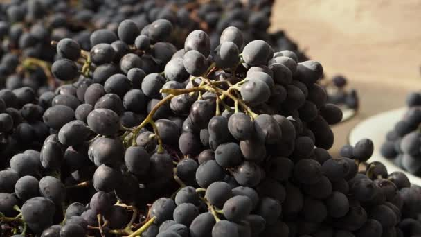 General view of grapes. Movement from right to left. Close up. Big harvest of dark blue grapes. Brushes of berries lie in big capacities on the street in the afternoon.