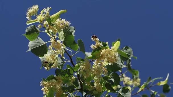 Včely sbírají nektar na Lipové květy v létě slunečný den. Květy Lípy. Větve jsou pokryty žlutými květy. Léčivá rostlina. Linden listy a květy s větrem vane