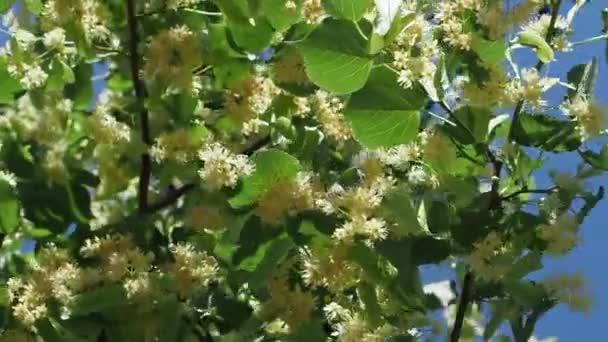Lipové květy na stromě v letní slunečný den. Větve jsou pokryty žlutými květy. Léčivá rostlina. Linden listy a květy s větrem vane