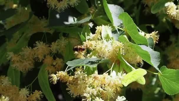 Včela sbírá nektar na kvetoucí lípy