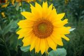 Fotografie slunečnicová pole, slunečnicový louka, květinové pole, Květinová louka, slunečnice a obloha, žluté květy, slunce nebe