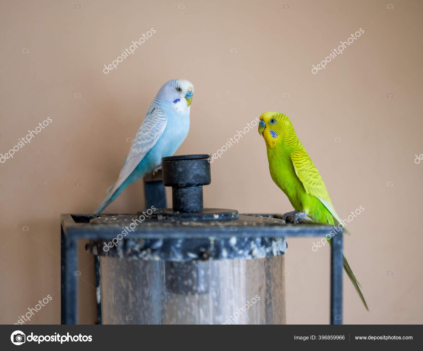 Two Cute Pet Parrots Yellow Green Parrot Blue White Parrot Stock Photo C Hitecherz 396859966