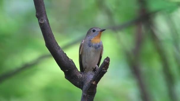 Tajga Flycatcher Ficedula albicilla krásný mužský ptáci Thajsko