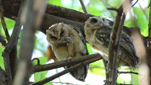 Dal collare scops owl Otus sagittatus uccelli bella della Thailandia