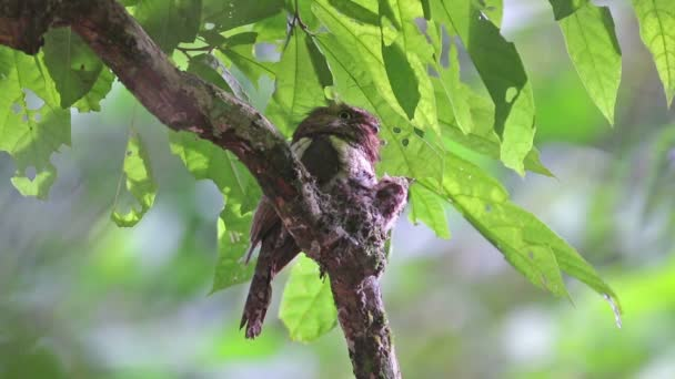 Blyths Frogmouth Batrachostomus affinis Male Birds and Two baby Birds in the nest