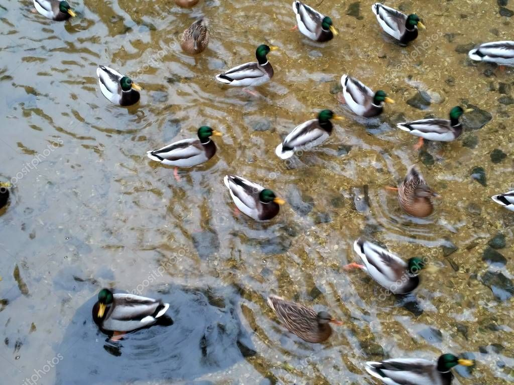 Wild Ducks in Winter Lake