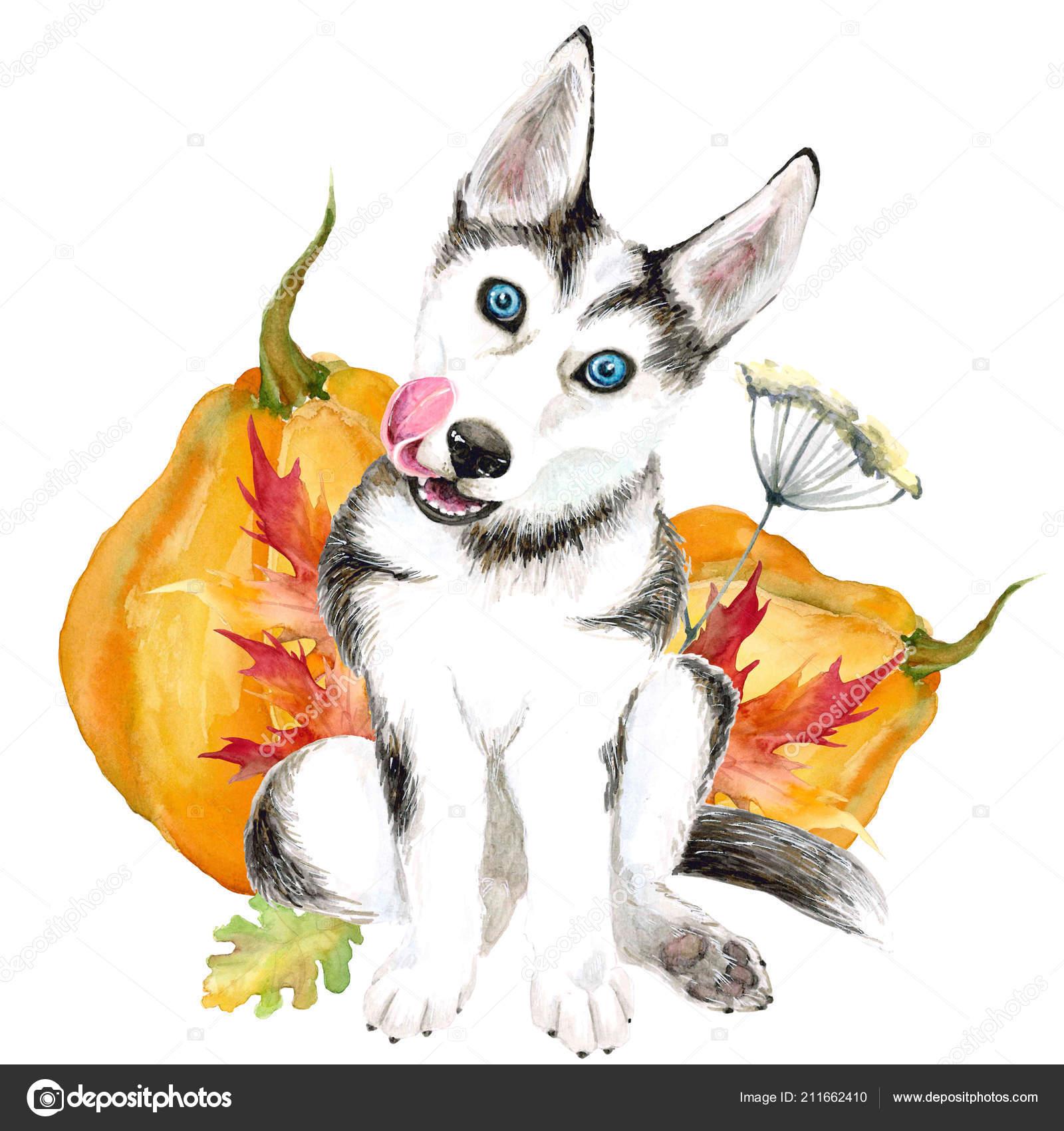 The Dog Breeds Husky Cute Puppy With Blue Eyes Isolated On White Background Autumn Harvest Pumpkin Stock Photo C Katyazverek 211662410