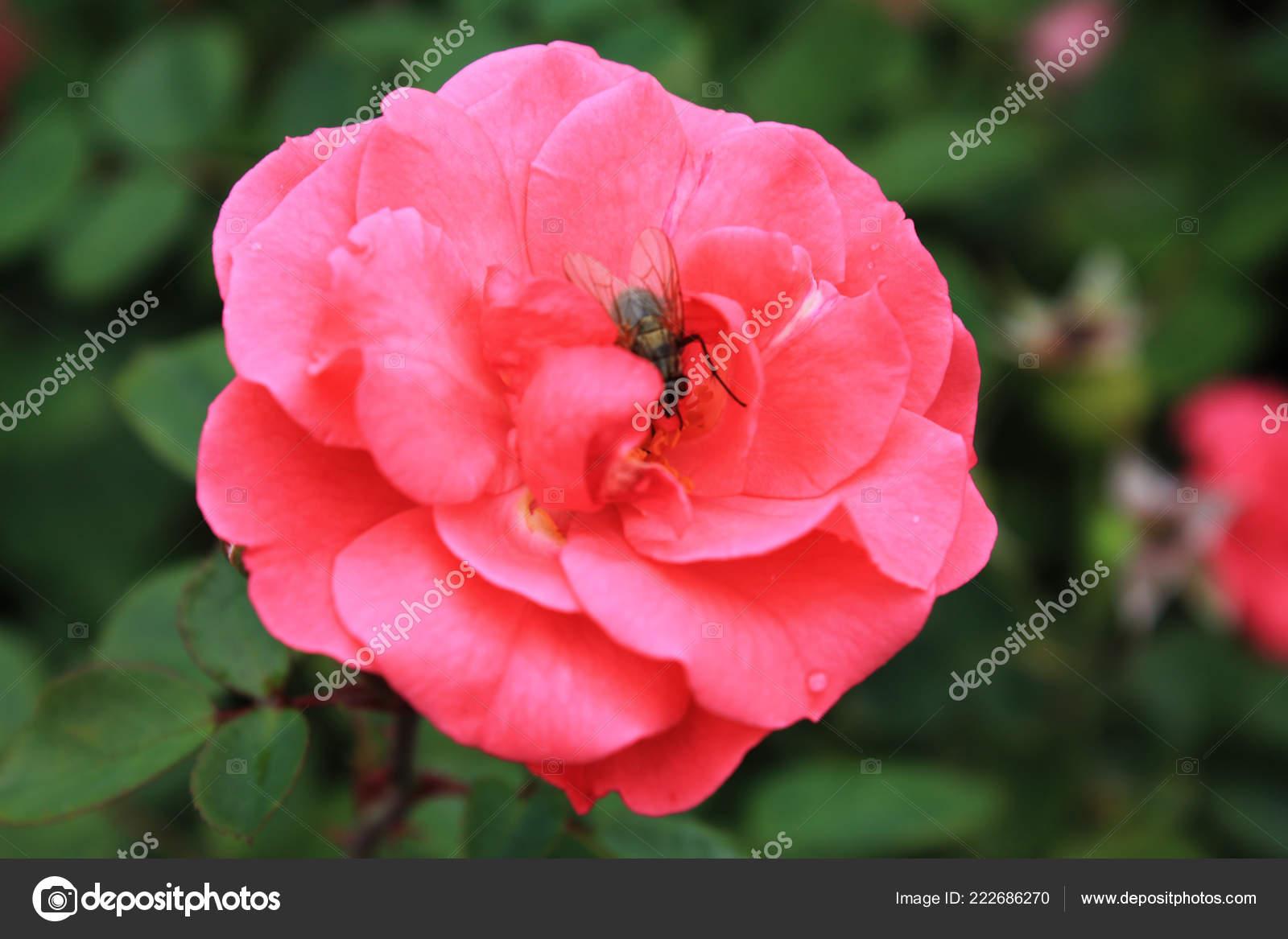 Flor Rosa Rosa Jardín Rosas Fondo Flor Con Flor Color — Foto ...